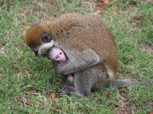 PB307672 - Vervet apen Hawassa meer