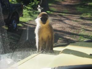 PC017723 - Vervet apen Hawassa meer