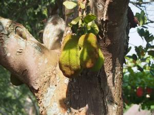 P1119894 - Jackfruit bij The Haven