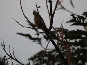 P1119967 - Bruine muisvogel bij The Haven
