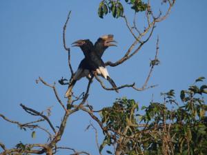 P1160315 - Grijsoorneushoornvogels bij The Haven