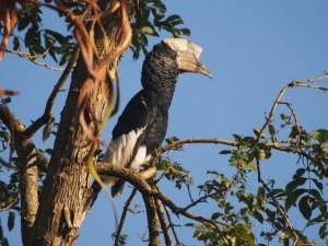 P1160322 - Grijsoorneushoornvogel bij The Haven