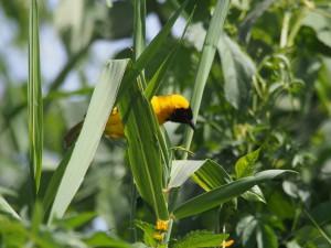 P1180549 - Maskerwever in botanische tuinen Entebbe
