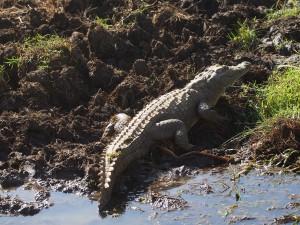 P1240905 - Crocky de krokodil Kidepo NP