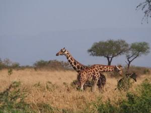 P1251248 - Rothshild giraffes Kidepo NP