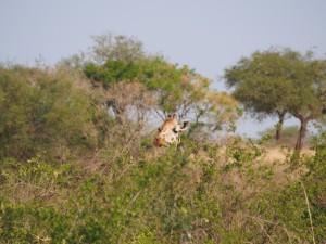 P1251252 - Rothshild giraffes Kidepo NP