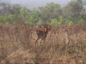 P1271366 - Kob Murchison Falls NP