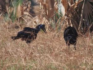 P1271393 - Noordelijke hoornraven Murchison Falls NP