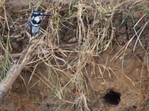 P1271441 - Ijsvogel Murchison Falls NP