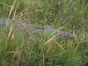 P1271575 - Krokodil Murchison Falls NP