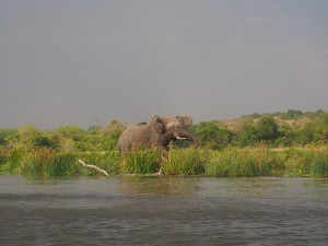 P1271606 - Olifant Murchison Falls NP