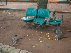 P1301654 - Vervetapen Entebbe dierentuin