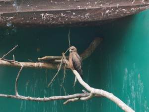 P1301705 - Roofvogel Entebbe dierentuin