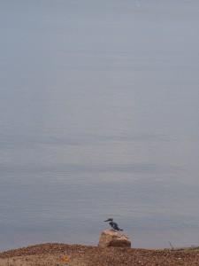 P1301718 - IJsvogel