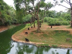 P1301744 - Chimpansees Entebbe dierentuin