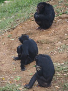 P1301751 - Chimpansees Entebbe dierentuin