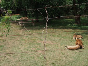 P1301786 - Leeuwen Entebbe dierentuin