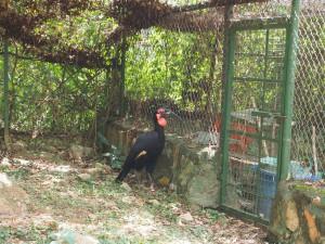 P1301787 - Noordelijke hoornraaf Entebbe dierentuin