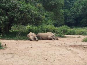 P1301789 - Witte neushoorns Entebbe dierentuin