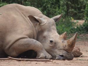 P1301793 - Witte neushoorn Entebbe dierentuin