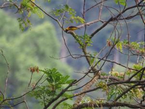 P2072148 - Wevervogel Bwindi NP