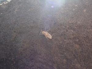 P3033582 - Groot insect bij Malawimeer