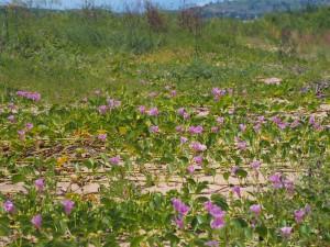 P3043652 - Bloemen op strand bij Malawimeer
