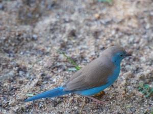 P3043669 - Blauwfazantje
