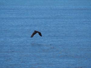 P3154758 - Hamerkopvogel over Malawi meer