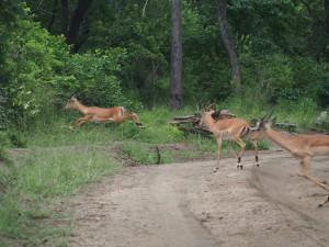 P3194971 - Impala's on the run Majete NP