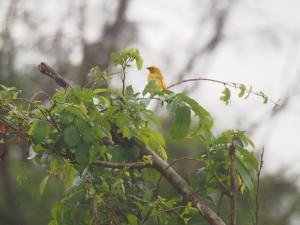 P3195075 - Wevervogel Majete NP