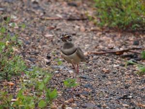 P3195117 - Bronsvleugelrenvogel Majete NP