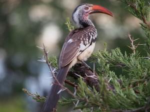 P3265333 - Roodsnaveltok op weg naar Wildlife Camp