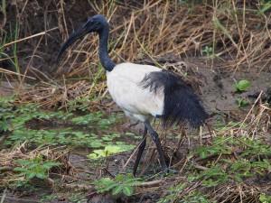 P3285415 - Heilige ibis langs de weg