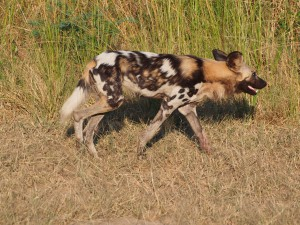 P3295617 - Wilde hond South Luangwa NP