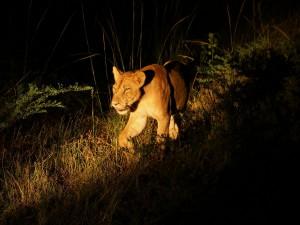 P3295791 - Likkebaardende leeuw South Luangwa NP