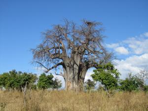 IMG 4334 - Baobab Chobe NP