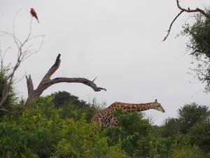 P4247002 - Giraffe Chobe NP