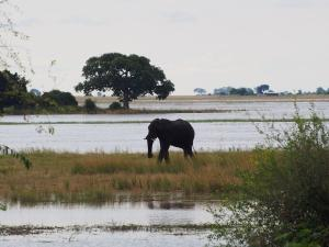 P4247147 - Enige olifant in Chobe NP