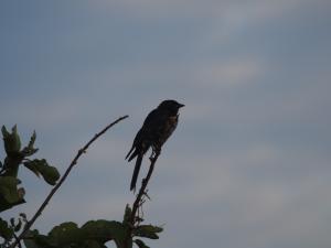 P4247199 - Onbekende vogel Chobe NP