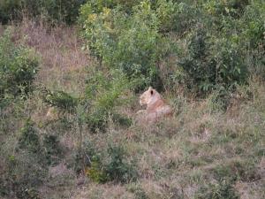 P4247277 - Leeuw Chobe NP