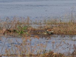 P4257389 - Zeg eens AAA krokodil Chobe NP