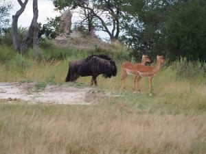 P4287446 - Wildebeest Mudumu NP