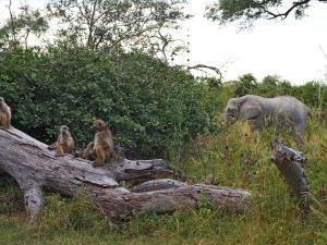 P4287488 - Bavianen en olifant in kamp 3 Mudumu NP