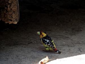 P5078015 - Kuifbaardvogel bij Island Safari Lodge