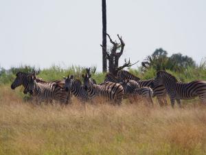 P5098158 - Zebra's tijdens natuurwandeling op eiland