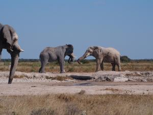 P5128524 - Olifanten op de vuist Nxai Pan NP