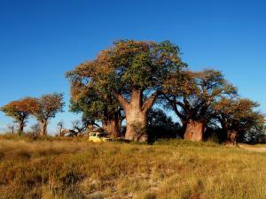 P5128580 - Bains Baobabs Nxai Pan NP