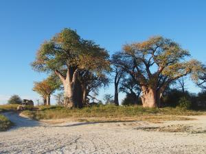 P5128585 - Bains Baobabs Nxai Pan NP