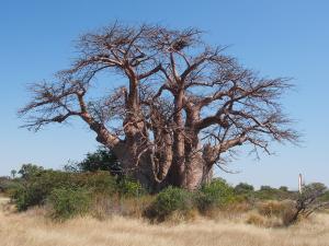 P5138651 - Greens Baobab